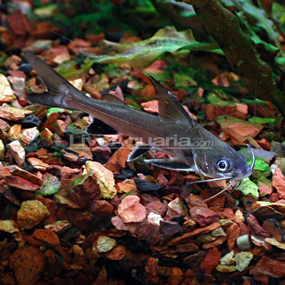 Columbian shark for Shark fish for aquarium