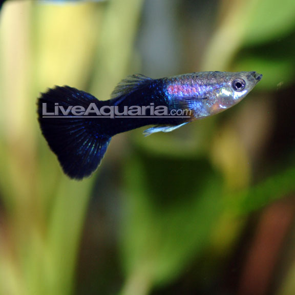 Black Phantom Delta Guppy (Pair)