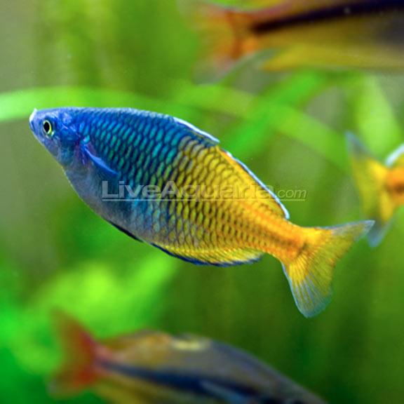 Boesemani rainbow for Turquoise rainbow fish
