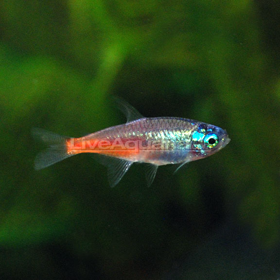 Diamond head neon tetra for Too cool fishing