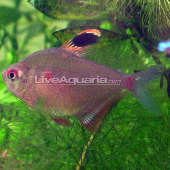 Bleeding heart tetra for Large peaceful community fish