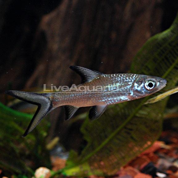 Freshwater Sharks | Tropical Fish For Freshwater Aquariums Bala Shark