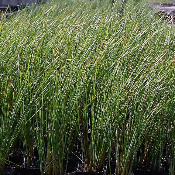 Plants For Ponds Water Gardens Dwarf Cattail Bog Plant