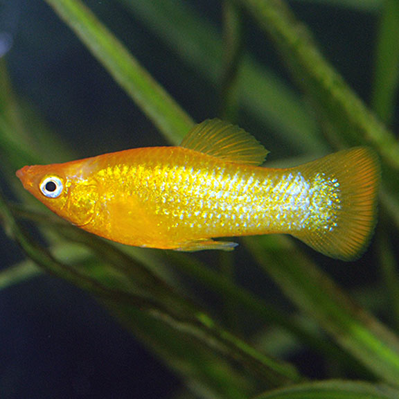 tropical fish for freshwater aquariums gold dust molly livebearer