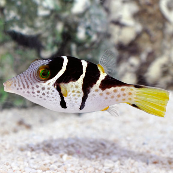 A Green Spotted Puffer Hunting Snail