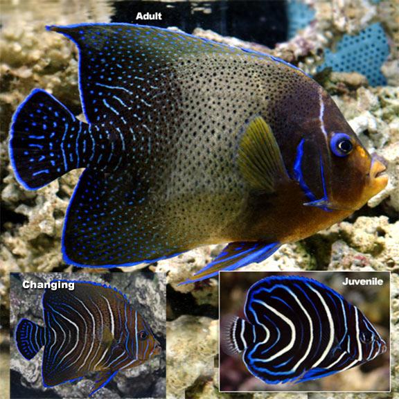 Koran Angelfish Pomacanthus semicirculatus Saltwater