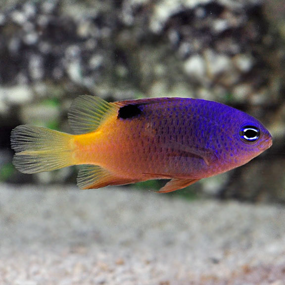 Damselfish | Tracey S Damselfish