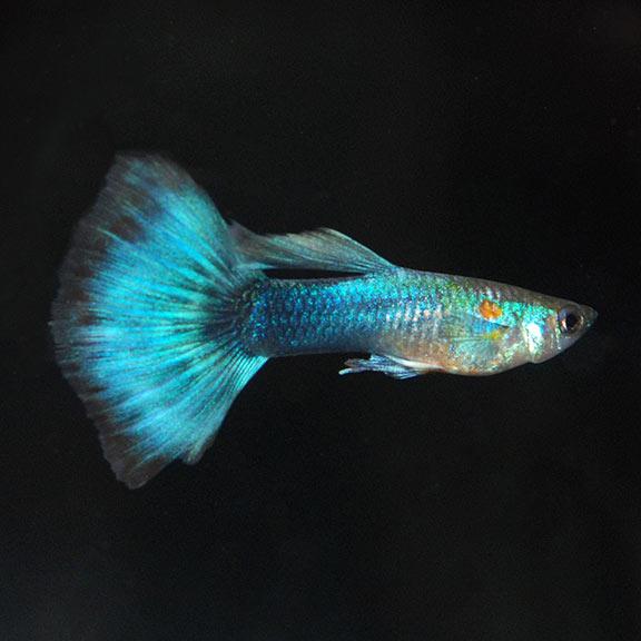 Neon blue tux guppy pair for Fancy guppy fish