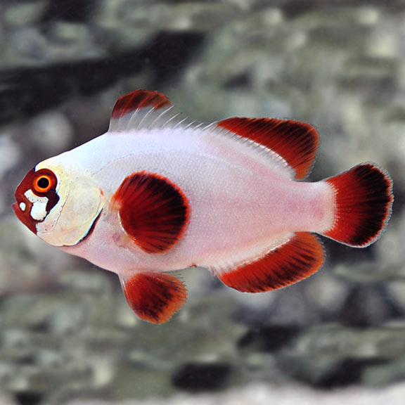 Maroon Clownfish | Saltwater Aquarium Corals For Marine Reef Aquariums Gold Nugget