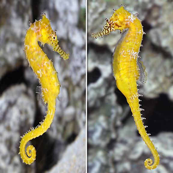 Freshwater seahorse