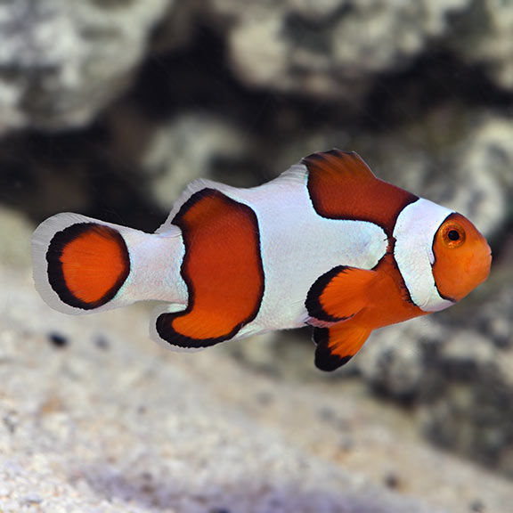 saltwater aquarium fish for marine reef aquariums ocellaris