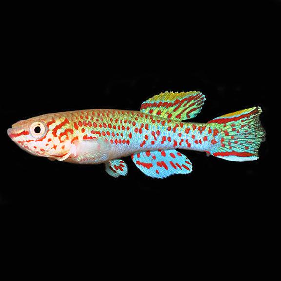 Killifish | Tropical Fish For Freshwater Aquariums Gardneri Panchax Killifish