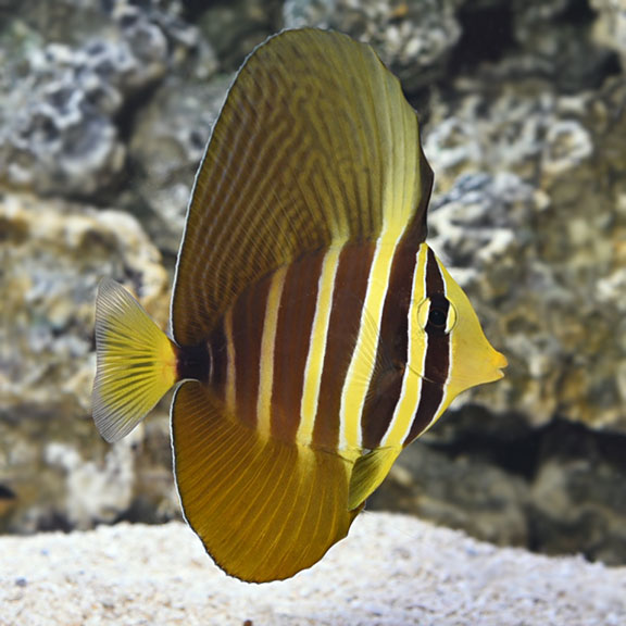 saltwater aquarium fish for marine aquariums sailfin tang