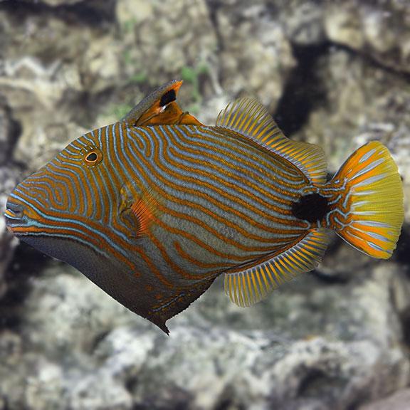 undulate triggerfish