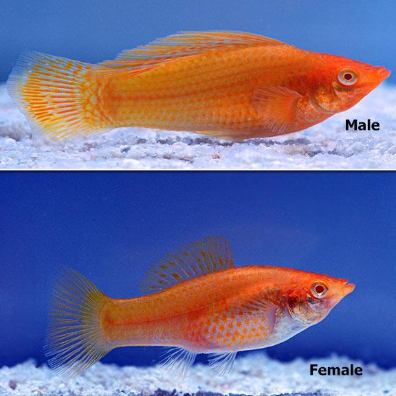 Orange Molly Fish | www.pixshark.com - Images Galleries ... Black Molly Fish Male Or Female
