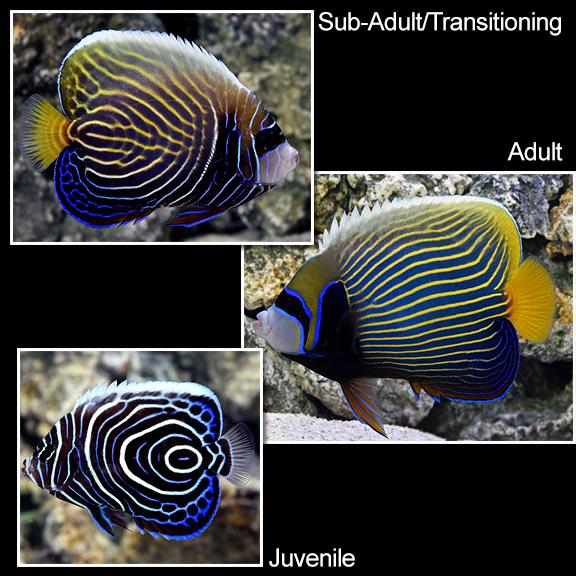 saltwater aquarium fish for marine aquariums emperor angelfish