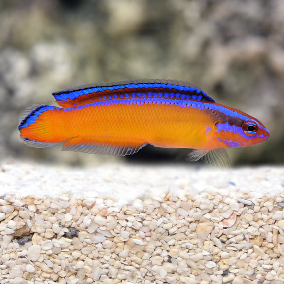 Dottyback Fish | Saltwater Aquarium Fish For Marine Aquariums Neon Dottyback