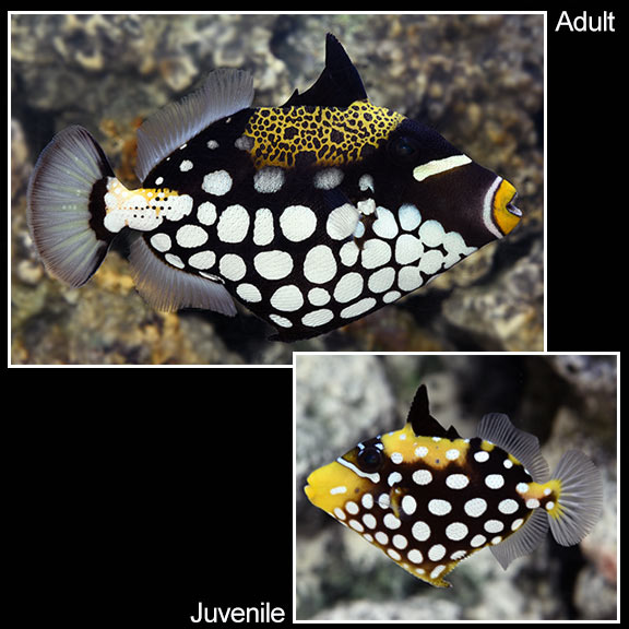 saltwater aquarium fish for marine aquariums clown triggerfish