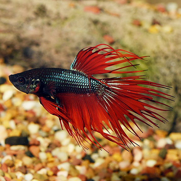 Betta Tropical Fish | Tropical Fish For Freshwater Aquariums Crown Tail Betta Siamese