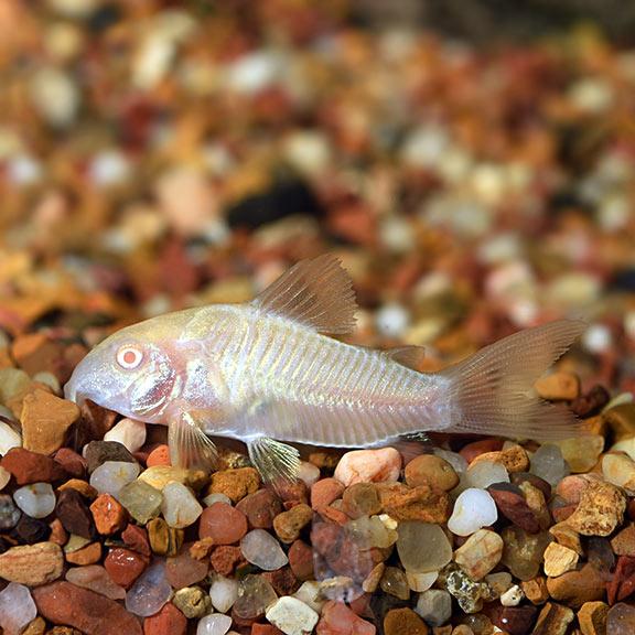 Albino Cory Catfish | Tropical Fish For Freshwater Aquariums Albino Aeneus Cory Cat