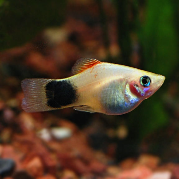 What Does A Pregnant Platy Look Like