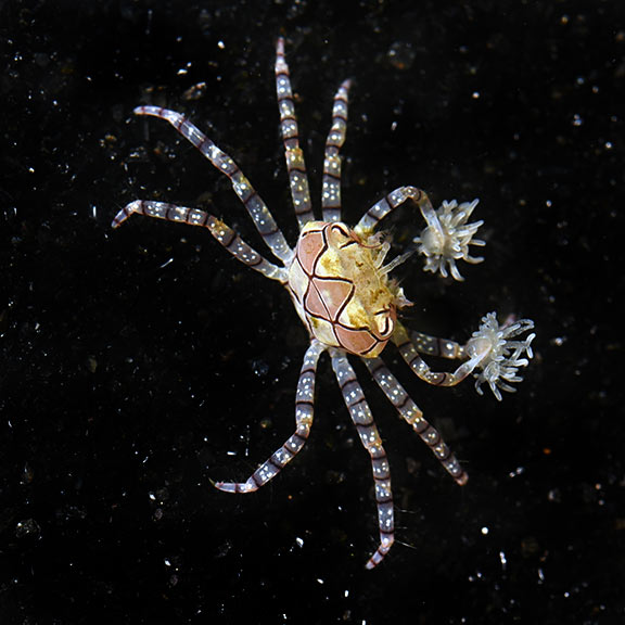 lg_90190_Pom_Pom_Crab.jpg