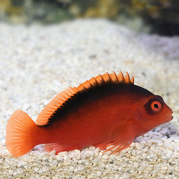 Hawkfish | Saltwater Aquarium Fish For Marine Aquariums Flame Hawkfish