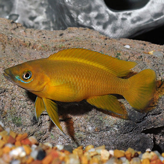 Tropical Fish For Freshwater Aquariums Orange Leleupi Cichlid
