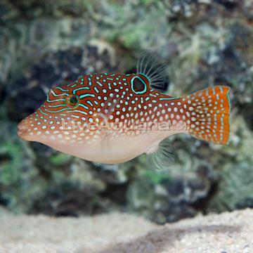 Saltwater Aquarium Fish for Marine Aquariums: Blue Spotted ...
