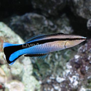 راس نوار آبی کلینر ( blue streak cleaner wrasse )