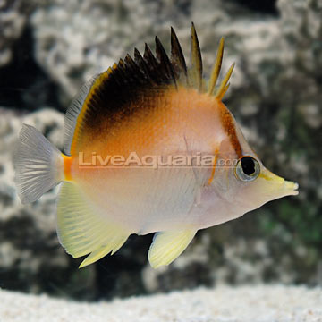 Longnose Atlantic Butterflyfish