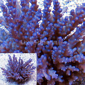 Sw cerealis acropora coral purple tiny