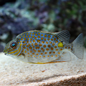 Yellow Blotch Rabbitfish
