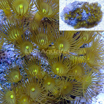Colony Polyp, Yellow
