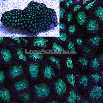 Colony Polyp, Green