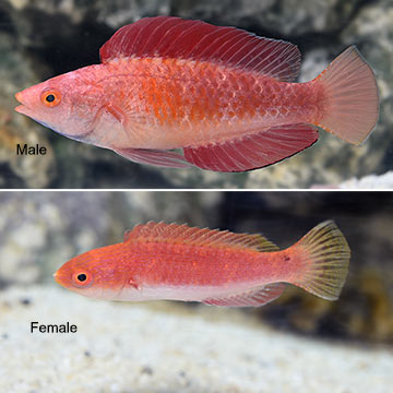 Redfin Wrasse