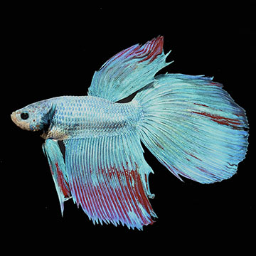 Longfin Dragon Scale Mixed Color Male Betta