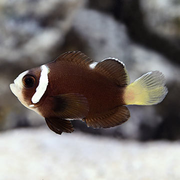 Rare melanistic clownfish collected in Philippines - Reefs.com |Mccullochi Clownfish