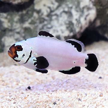 Frostbite Clownfish, Captive-Bred