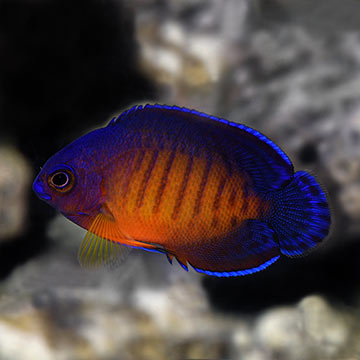 Coral Beauty Angelfish, Captive-Bred, Biota