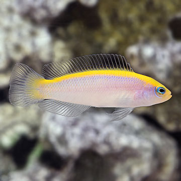 Sunrise Dottyback, Captive-Bred