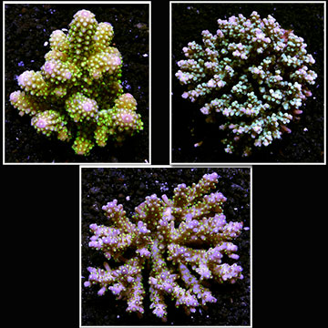 Bright Color Tongan Acropora 3 Pack