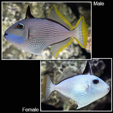Blue Throat Triggerfish