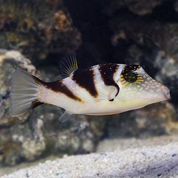 Saddle Puffer: Saltwater Aquarium Fish for Marine Aquariums