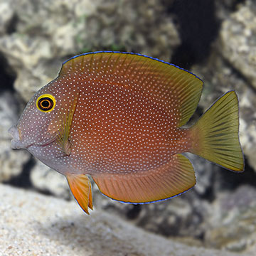 Squaretail Bristletooth Tang