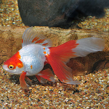 Red & White Ryukin Goldfish