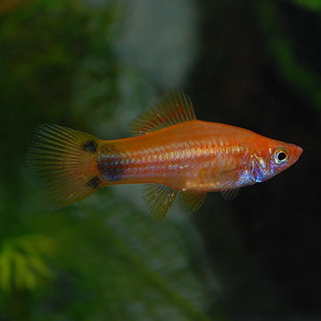Marigold Mickey Mouse Swordtail