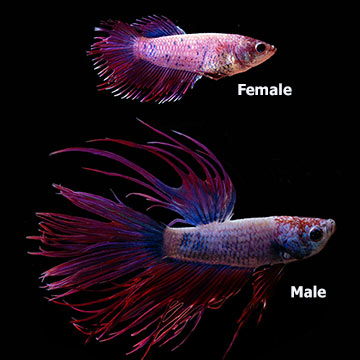 Violet Crowntail Betta (Pair)
