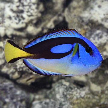 Yellow Belly Regal Blue Tang