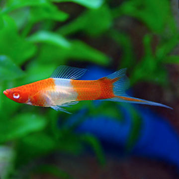 Tropical fish for freshwater aquariums koi swordtail for How much does a koi fish cost